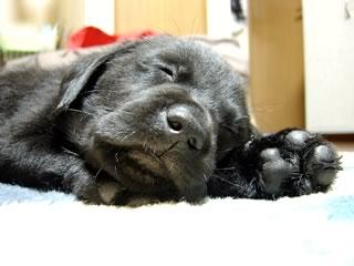 Blog犬Mac(ラブラドールレトリーバー)の寝顔