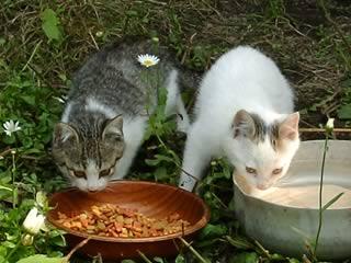 エサを食べ始める子猫