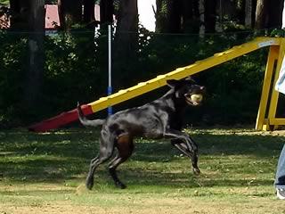 ドックパークてくてくで遊ぶ犬
