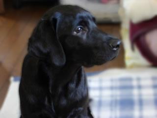 ラブラドールレトリーバー blog犬Mac